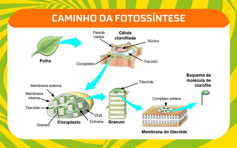 Como funciona a Fotossíntese?