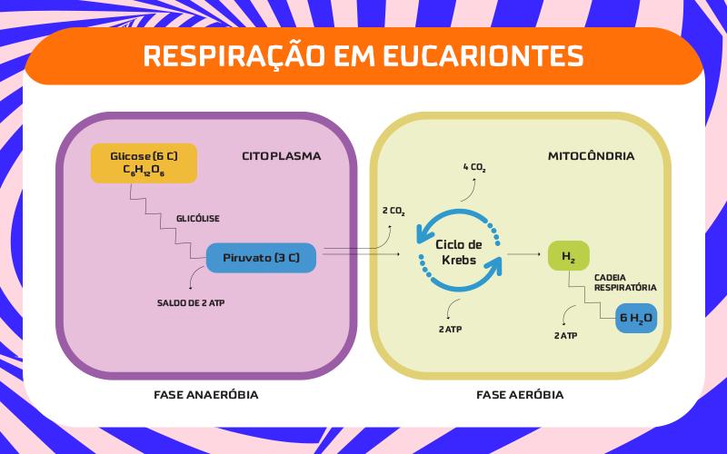 Como funciona o processo da respiração celular?