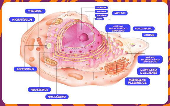 Citoplasma nas células eucariontes
