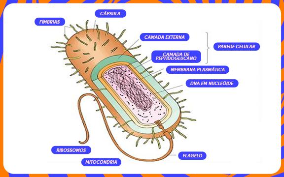 Citoplasma células procariontes